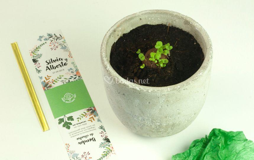 Bomba de semillas germinada