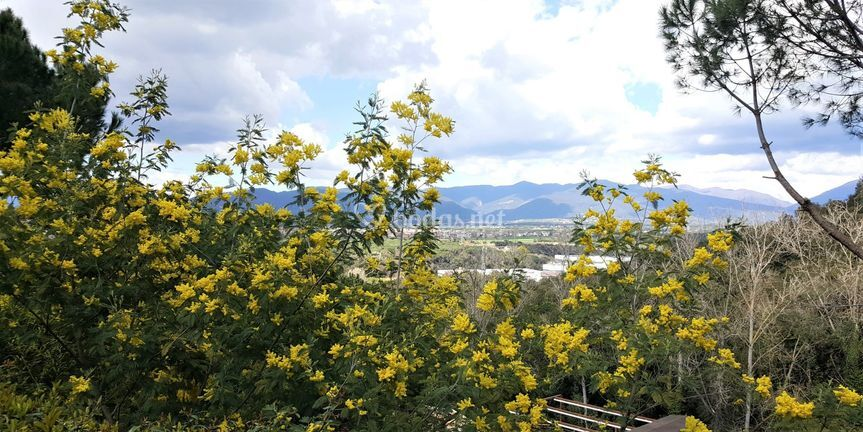 Vistas del Montseny con mimosas