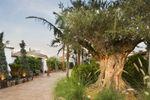 Olivo centerario en Nazaret