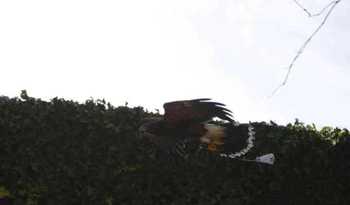 Falcons Galicia