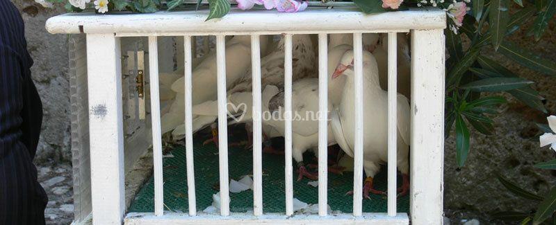 Preciosas palomas blancas