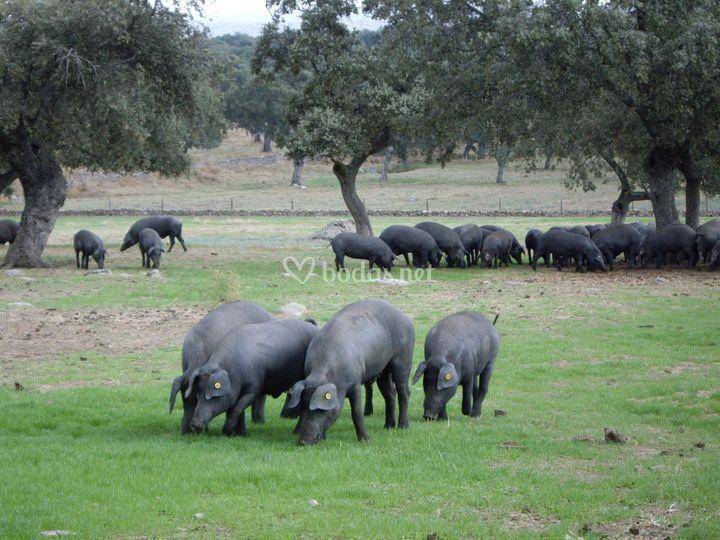 Los mejores cerdos
