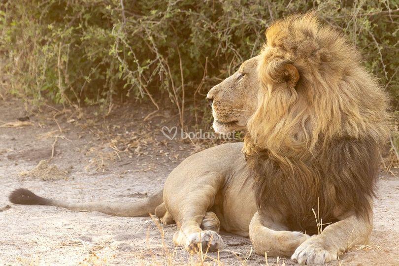 León en África