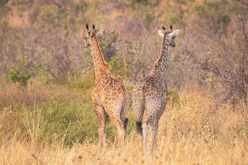 Jirafas en grupos, Botsuana