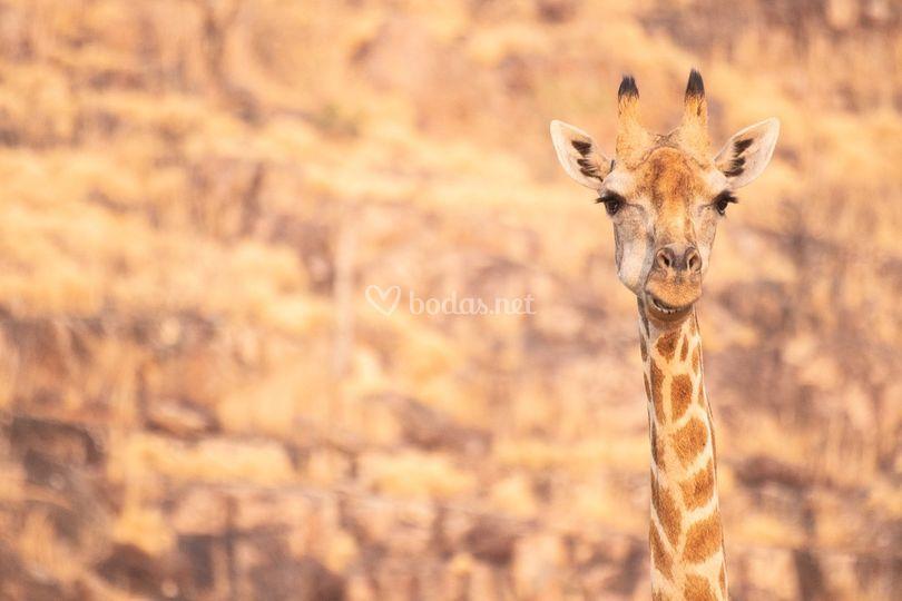 Jirafas en la sabana africana