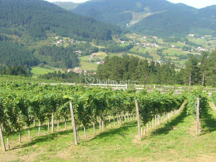 Inmensos viñedos