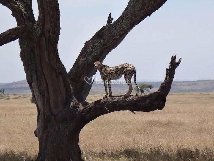 Safaris, tanzania increíble