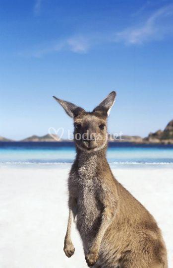 Canguro, Fraser Island