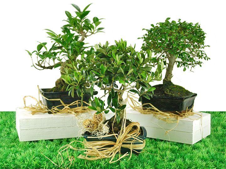 Regala bonsáis