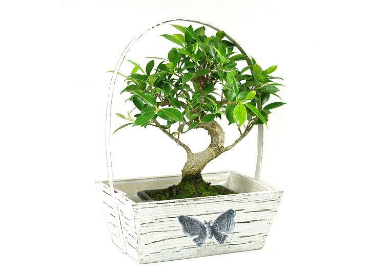 Bonsái + caja mariposa