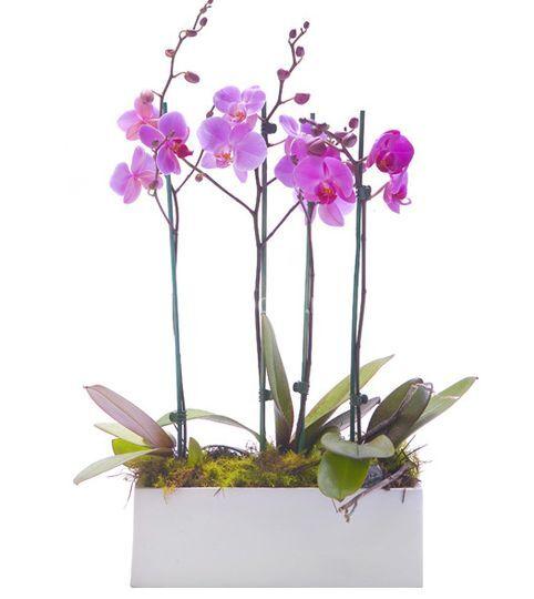 Dúo de orquídeas Phalaenopsis