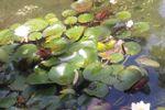 Loto  del estanque