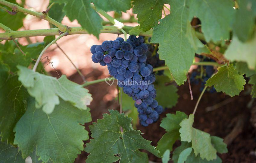 Uva en la viña