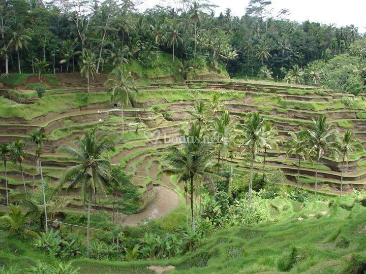 Terrazas de arrozales en Bali