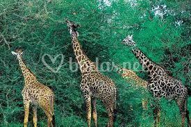 Maasai Mara safari al amanecer