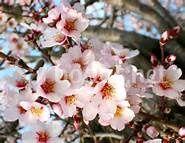 Flor almendro-almendra marcona