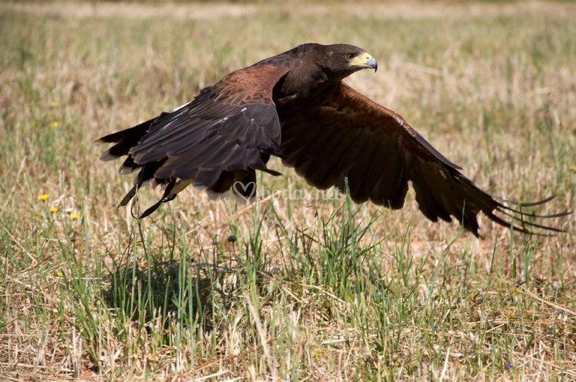 Águila majestuosa