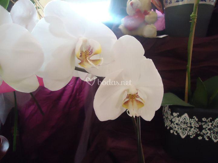Variedad en orquídeas