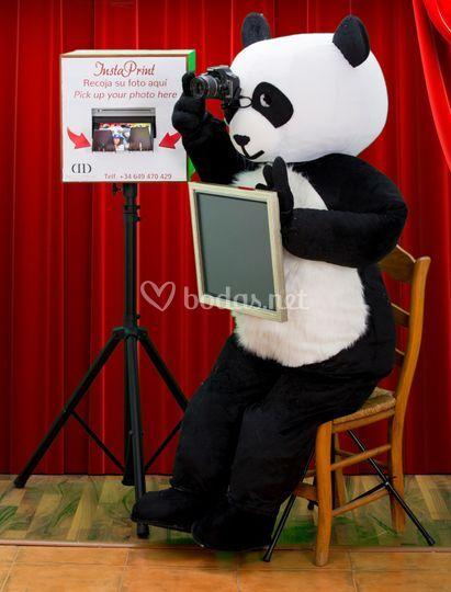 Oso Panda fotógrafo