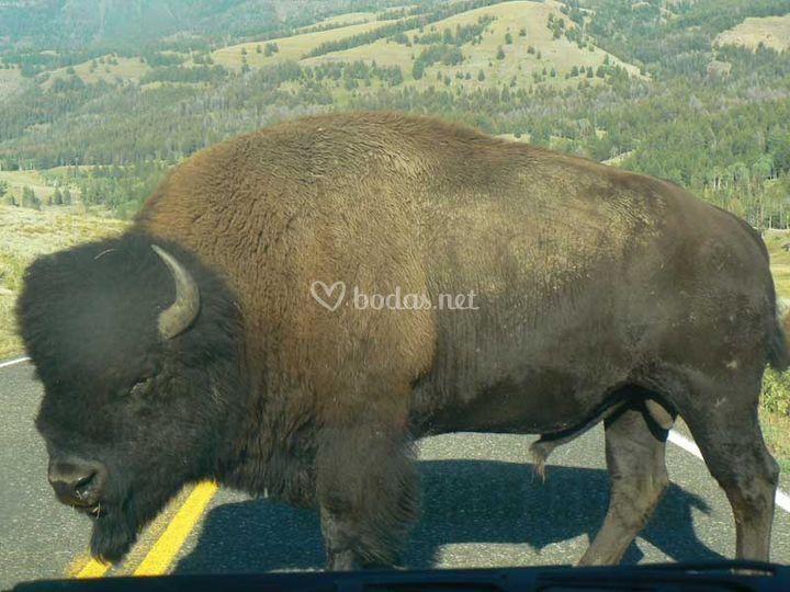 Fauna en Yellowstone