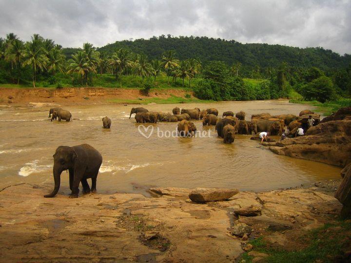 Elefantes - Sri lanka