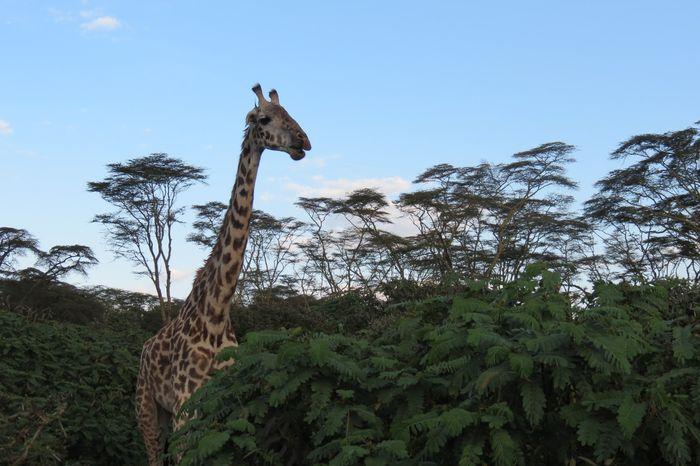 jirafa en el lago naivasha