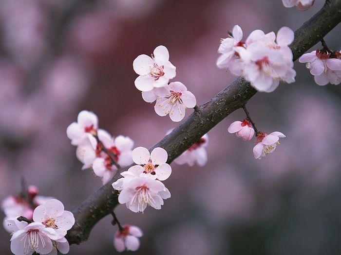 86de80ebb1 Flor de cerezo (Sakura)