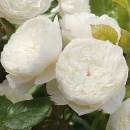 rosas para mi ramo