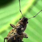 Gonipterus