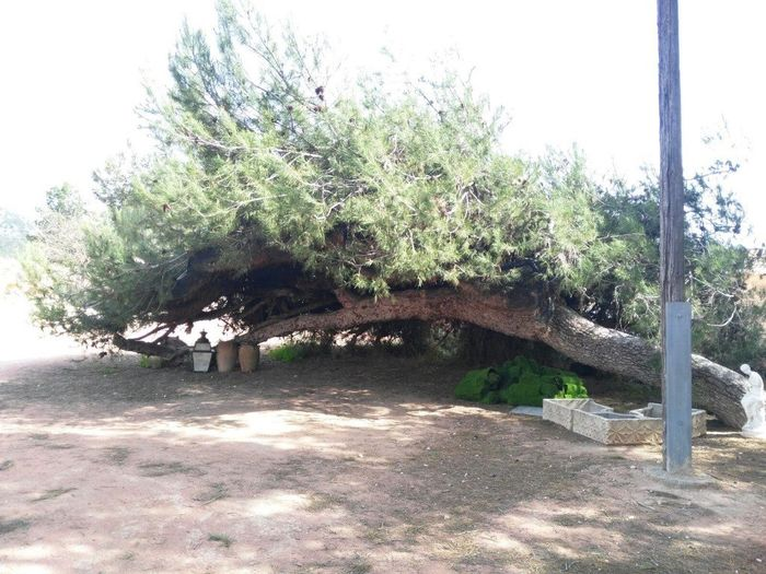 Decorar arbol/tronco para ceremonia 2